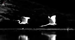 Great Egret (S.M. Ali Javed) Tags: great egret natgeo nature natural natgeoyourshot naturallight bird birding birdsofpakistan wildbirds wildlife wildplanet wildlifeofpakistan wildbirdtrust