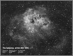 "The Tadpoles, within NGC 1893 (Lee ""Pulitzer"" Pullen) Tags: nebula astronomy astrophoto skywatcherevostar80eddspro zwoasi1600mmc hydrogenalpha cityastronomy cityastrophotography 80mmrefractor smalltelescope smallrefractor refractor ngc1893 tadpoles auriga"
