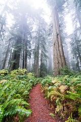 Ladybird Johnson Grove (chanelvarasteh) Tags: trees kayaking kayak beach ferns ferncanyon redwoods nationalpark mist outdoor outdoors outside explore california