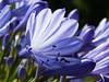 365-344 (Letua) Tags: 365project agapanthus closeup flor flower naturaleza nature primavera spring
