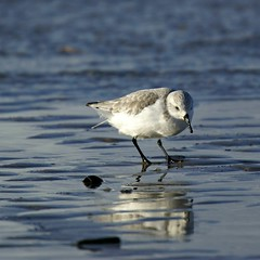Sanderling (Jaedde & Sis) Tags: blåvand sandløber sanderling reflection white blue 15challengeswinner