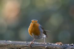 Disappointed Robin (hardy-gjK) Tags: birds vögel oiseaux natur nature animals tiere robin rotkehlchen rougegorge nikon hardy wildlife