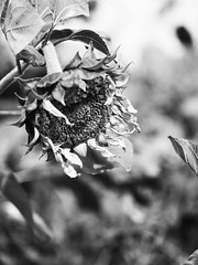 凋謝 (*泛攝影*) Tags: 夕陽 日落 鄉村 taiwan 小品 黑 白 panasonic gx7 台灣 雲林 虎尾 nature art light inexplore 探索 黑白 單色 草 風景 原野 植物 戶外 景深