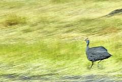 Tanzania, chicken run (Vittorio Ricci (thanks +++ 3.7millions views)) Tags: guineafowl helmetedguineafowl numidameleagris