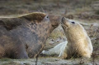 Grey Seal and Pup_MG_8510