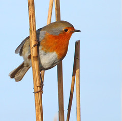Christmas Robin (Peter J. Ham.) Tags: robin bird nature aves avies life sun wirral canon