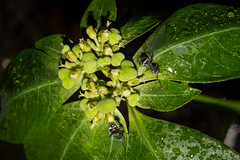 Ants (betadecay2000) Tags: ameisen ant ants ameise pflanze plant batchelor northernterritory australia australien austral australie green grün northern territory nordaustralien nordterritorium