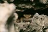 Rana de las rocks de Barahona / Barahona Rock Frog (Eleutherodactylus alcoae) (Gogolac) Tags: barahonarockfrog eleutherodactylusalcoae fauna islabeata islaadyacente location otoño ranadelasrocksdebarahona reptiles season republicadominicana