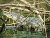 Young Caiman (johndbillig) Tags: arienal monkey nayara rafting river flooded young costarica caiman reptile