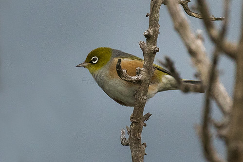 Silvereye - New Zealand_FJ0A8046
