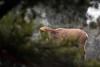 FLD_9902m (MILESI FEDERICO) Tags: milesi milesifederico montagna italia italy iamnikon inmontagna wild wildlife mammifero alpi alpicozie altavallesusa altavaldisusa animale animal stambecco ibex nikon nikond7100 nital natura nature nat piemonte piedmont visitpiedmont valsusa valdisusa valliolimpiche valledisusa sigma150500 sigma salbertrand d7100 dettagli details inverno winter 2017 dicembre corna nevicata