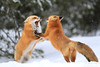 Best Of 2017 (Megan Lorenz) Tags: redfox fox pair two breeding fight inseason heat winter snow snowing animal mammal nature wildanimals wildlife wild algonquiinprovincialpark ontario canada mlorenz meganlorenz