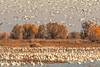 (Marc Crumpler (Ilikethenight)) Tags: usa california colusa colusanationalwildliferefuge marccrumpler birds geese snowgeese trees autumn fall fallcolor marsh canon canon7dmarkii 7dmarkii tamron150600mmf563