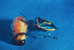 Adult twospotted stink bug (Perillus bioculatus) feeding on a Colorado potato beetle larva (The NYSIPM Image Gallery) Tags: cornell cals cornelluniversity nysaes newyork ipm nysipm integratedpestmanagement cce cornellcooperativeextension vegetableipm vegetablepests vegetablescrops mostvegetablecrops cole beetle coleoptera coloradopotatobeetle leptinotarsadecemlineata chrysomelidae beneficial naturalenemy predator stinkbug hempitera pentatomidae potatoes adultinsect insectlarva twospottedstinkbug perillusbioculatusfabricius