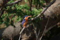 IMG_3478 (uh1977) Tags: kingfisher eisvogel