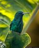 Steely-Vented Hummingbird Quindio Colombia (arainoffphoto) Tags: quindio birding animals colibri birds botanico nature steely jardin emerald green calarca vented colombia hummingbird calarcá quindío co jardinbotanicodelquindio