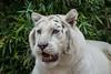 #tiger #whitetiger #tigreblanco (reds071286) Tags: tigreblanco whitetiger tiger