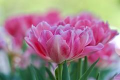 by Freddi Weiner (Maryland DNR) Tags: 2017 photocontest spring tulips nonnative flowers bloom