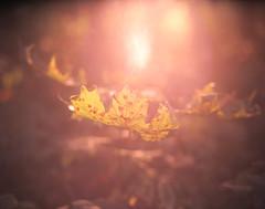 Shallow evening (suxarik) Tags: mamiya 645 6x45 120 220 645afd mamiyaa sekor mamiyasekor mf medium mediumformat film expired e6 color fujifilm fuji astia fujifilmastia100 analog rotary diy selfdeveloped jobo cpe2 scanned imacon imaconflextightphoto slide reversal positive summer park forest dawn sundown sun shining light bokeh dof trees rap