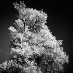 Old Man Willow (colinpoe) Tags: konicair750 willowtree rolleiflexautomat infrared rolleiflexautomatk4a foliage bw tree blackandwhite rolleiflex