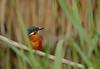 Kingfisher (yvonnepay615) Tags: panasonic lumix gh4 nature bird kingfisher lakenheath suffolk eastanglia uk
