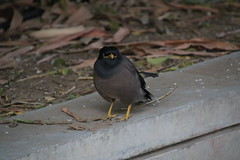 Common Myna (Indian Myna) at Indian Institute of Management Ahmedabad (Gujarat, India - November 2017) (cseeman) Tags: india gujarat ahmedabad indianinstituteofmanagement iima indianinstituteofmanagementahmedabad india17 india2017 campus university businessschool indianbusinessschools trees plants green campusbirds birds birdsofindia commonmyna indianmyna myna mynabird