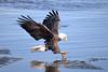 American Bald Eagle Fishing [2712] (cl.lin) Tags: iowa leclaire mississippiriver lockanddam14 americanbaldeagle eagle nature