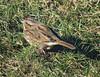 Song Sparrow (Roamer61) Tags: bird sparrow song li ny winter aves animal