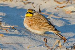 Horned Lark Male (swingaweigh) Tags: lark larks hornedlark hornedlarks