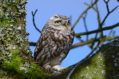 Little Owl 1 (Terry Angus) Tags: owl little rochdale bird predator birdofprey owls wildlife