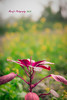 Red in the yellow sea (Maruf-ul Islam) Tags: wintermorning vegetable redspinach musturdsea