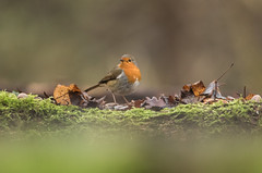 Robin (Eric Penet) Tags: oiseau bird animal sauvage pasdecalais france faune forêt wildlife wild passereau billyberclau janvier hiver nature rougegorge robin familier