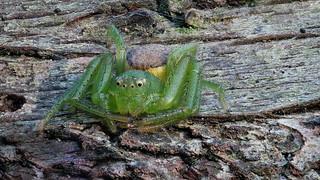 Grüne Krabbenspinne (Diaea dorsata) - Jungtier in ihrem Winterquartier - Größe ca. 3 mm