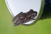 Peron's tree frog (Litoria peronii) (MrCrotalusAtrox) Tags: peranstreefrog perans frog treefrog amphibian amphibians litoria litoriaperonii zoology animal animals macro macrophotography fujifilm xmount xf18135mm 18135mm australia queensland springbrook springbrooknationalpark