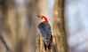 Red-bellied Woodpecker (sarasonntag) Tags: woodpecker red bellied bird la crosse wisconsin winter 2017 outdoor tree wood