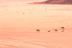 Wade the desert (EvergreenHills) Tags: jordan desert camels wadirum middeleast landscape wildlife