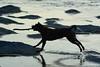 Tigger Silhouetted 2 (Bob Hawley) Tags: asia taiwan kaohsiung nanzixianriver qishanriver jiaxiandistrict nikond7100 nikkor35135mmf3545lens dogs taiwantugou pets playing sticks animals rocks water silhouette evening