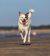 Air time Buddy (Paul`s dog photography) Tags: northdevon sandybeach rescuedog canon5dmkivmk4 ef70200f28isiiusm