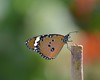 Plain Tiger (Grumpys Gallery) Tags: plaintiger butterflies insects wildlife nature abudhabi uae