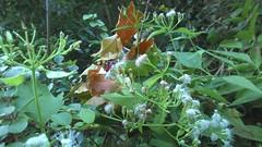 紅腹鹿子蛾吸食香澤蘭花蜜