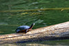 Painted Turtle on Driftwood (thatSandygirl) Tags: outdoor nature wildlife animal september summer foundationpark mountvernon ohio park outdoors reptile turtle pond lake log driftwood water black chrysemys picta