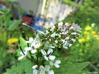 Butterfly 1520