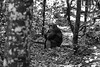 Cesare (CesareLaDeda) Tags: buruuli westernregion uganda ug ape chimpanze male tree forest relax leica summilux 50mm asph 14