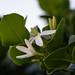 Gardenia taitensis(ティアレ)