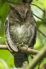 Vermiculated Screech-Owl (fernaabs) Tags: vermiculated screechowl megascops guatemalae estucurú sorococa lechucitavermiculada aves strigiformes strigidae fernaabs burgalin avesdecostarica