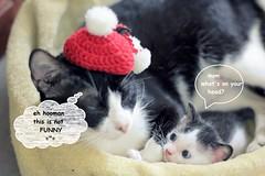 cat in a hat \^o^/ (C h i ê u) Tags: cat kitten black white macro pet noel crochet hat santa