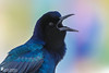 Boat-tailed Grackle (Birds Of Amsterdam) Tags: grackle bird sound beach colour florida wildlife