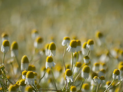 Une foule de petits bonheurs ***--+° (Titole) Tags: flowers camomille camomile titole many nicolefaton wildflowers bokeh shallowdof 15challengeswinner thechallengefactory storybookwinner