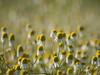 Une foule de petits bonheurs *----+° (Titole) Tags: flowers camomille camomile titole many nicolefaton wildflowers bokeh shallowdof 15challengeswinner