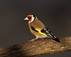 Goldfinch (m) (Gary McHale) Tags: goldfinch male rspb old moor